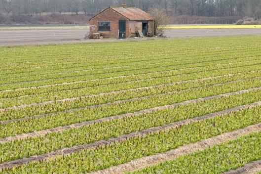 _IMG_5147_Hyacinth