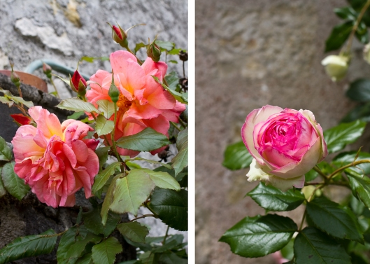 09_Provins_Roses