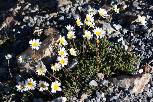 06_IMG_7891_Leucanthème des Alpes_Leucanthemopsis alpina_col de galibier