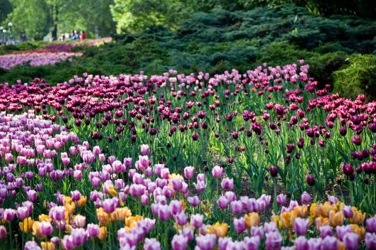 01_IMG_6652_Ottawa_Tulip Festival