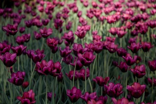 03_IMG_6647_Ottawa_Tulip Festival