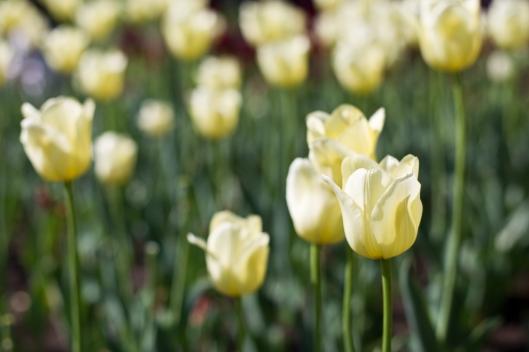 05_IMG_6583_Ottawa_Tulip festival