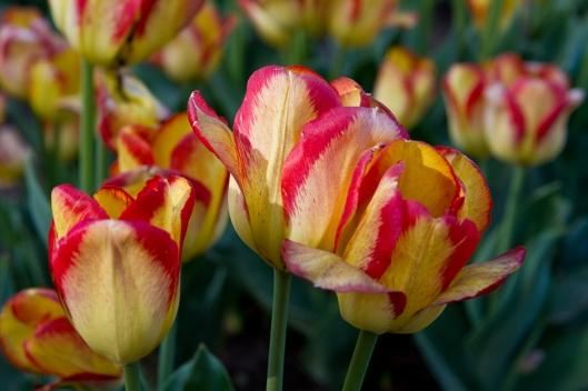07_IMG_0151_Ottawa_Tulip Festival
