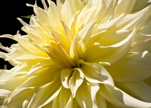 _IMG_0551_Jardin botanique_dahlias