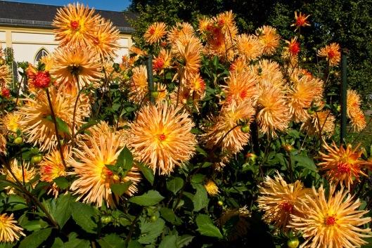 _IMG_0556_Jardin botanique_Dahlias