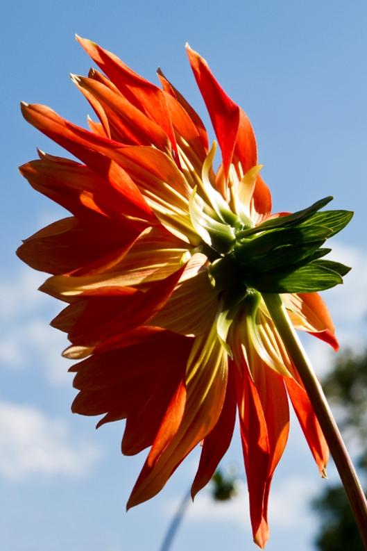 _IMG_0559_Jardin botanique_dahlias