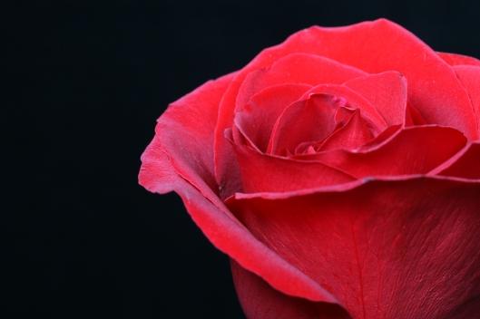 01_IMG_0037_rose
