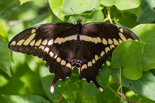 _IMG_2063_Parc plaisance_papillon porte queue thoas